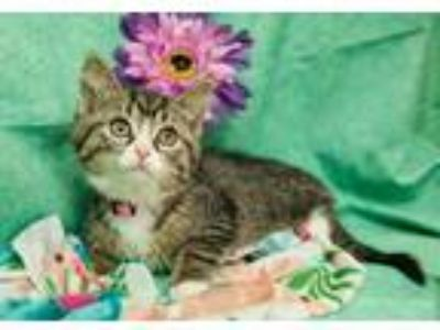 Adopt Daisy X a Brown or Chocolate (Mostly) Domestic Shorthair / Mixed cat in