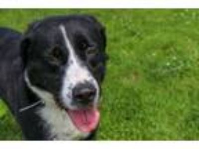 Adopt Tanker a Border Collie, Great Pyrenees