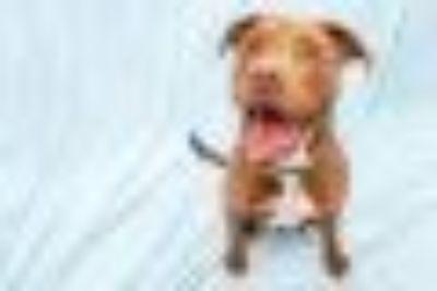 Jasper Jazzy Pants Labrador Retriever - Pit Bull Terrier Dog