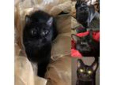 Adopt Little Salem a Domestic Shorthair / Mixed (short coat) cat in Phoenix