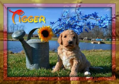 Tigger Male Labradoodle