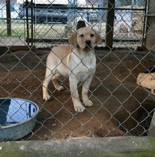 Labrador Retriever PUPPY FOR SALE ADN-108495 - AKC Yellow Labrador Retriever