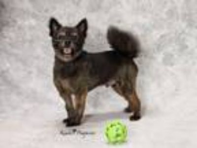 Adopt SCRAPPY a Pomeranian, Mixed Breed