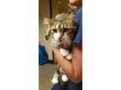 Adopt Mijo a Brown or Chocolate Maine Coon / Domestic Shorthair / Mixed cat in