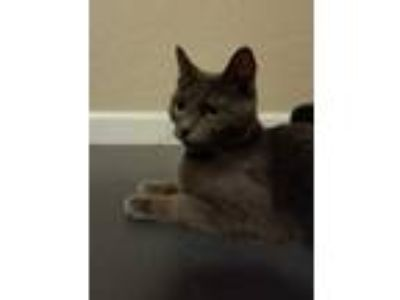 Adopt Lil Bits (Momma) a Gray or Blue Domestic Shorthair / Domestic Shorthair /