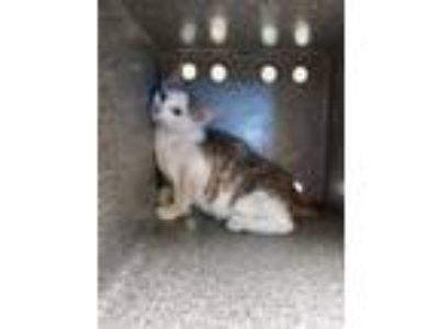 Adopt Ducky a Domestic Short Hair