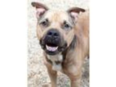 Adopt Pumpkin a Brown/Chocolate American Pit Bull Terrier / Mixed dog in South
