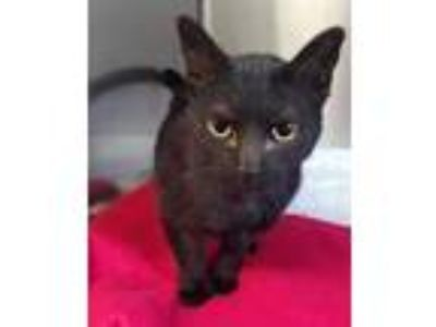 Adopt Lil Mama a All Black Domestic Shorthair / Domestic Shorthair / Mixed cat