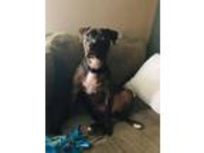 Adopt Riggs a Brindle Boxer / American Staffordshire Terrier / Mixed dog in