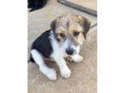 Adopt Ferb a Terrier (Unknown Type, Medium) / Beagle / Mixed dog in Waxhaw