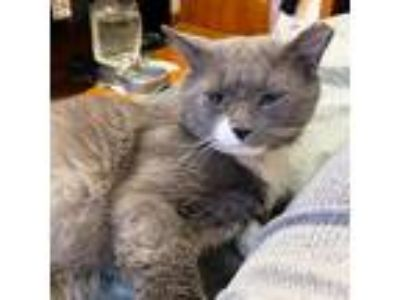 Adopt ZURICH a Gray or Blue (Mostly) Domestic Mediumhair (medium coat) cat in