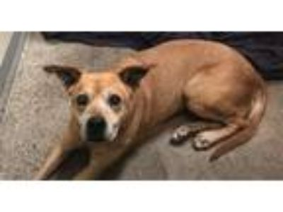 Adopt Ginny a Boxer, Terrier