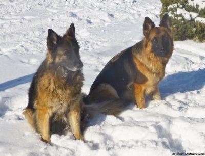 Lookig for Pure Breed German Shepherd,Doberman, Rottweiller or Great dane