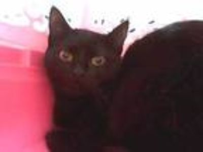 Adopt Hazel a All Black Domestic Shorthair / Domestic Shorthair / Mixed cat in