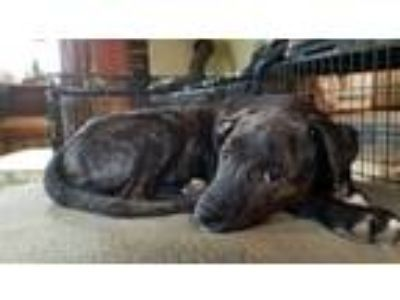 Adopt Tracy a Black Labrador Retriever