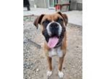 Adopt Bruno a Brown/Chocolate - with White Boxer dog in Fresno, CA (25782201)
