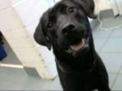 Adopt WINGER a Labrador Retriever