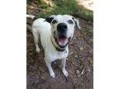 Adopt Athena a White - with Black Pointer / Mixed dog in Pottsville