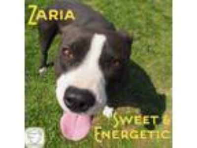 Adopt Zaria a Boxer, Pit Bull Terrier