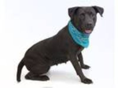 Adopt KENDEL a American Staffordshire Terrier, Mixed Breed