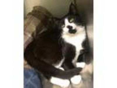 Adopt Pirate a Domestic Shorthair / Mixed cat in Elmsford, NY (25298379)