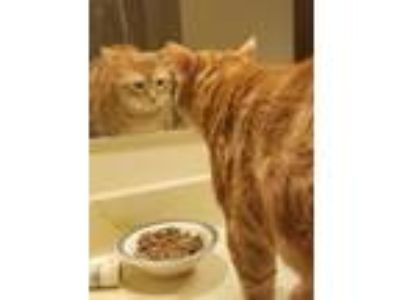 Adopt Jameson a Orange or Red Domestic Shorthair (short coat) cat in LaGrange