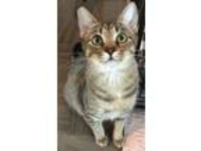 Adopt Dashi a Brown Tabby Domestic Shorthair (short coat) cat in Lincoln