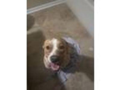Adopt Kira a Tan/Yellow/Fawn - with White Labrador Retriever / American
