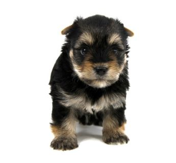 Yorkshire Terrier PUPPY FOR SALE ADN-89825 - MASON