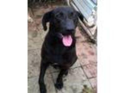 Adopt Buster a Black Labrador Retriever