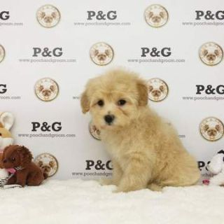 Poodle (Toy)-Maltese Mix PUPPY FOR SALE ADN-78406 - Maltipoo Smith Male