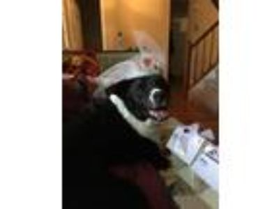 Adopt Shady a Black - with White Border Collie / Mixed dog in Fredericksburg