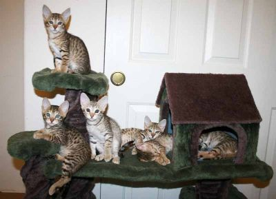 Savannah kittens f6