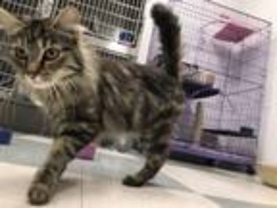 Adopt Tipit a Domestic Long Hair