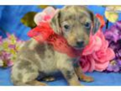 Brady' BlueDappleSH Mini-Dachshund Puppy
