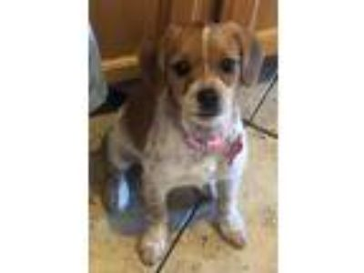 Adopt Olivia a White - with Red, Golden, Orange or Chestnut Jack Russell Terrier