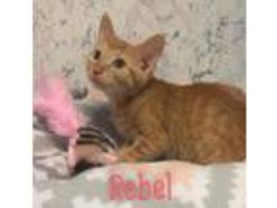 Adopt Rebel/mm a Orange or Red Domestic Shorthair / Mixed (short coat) cat in