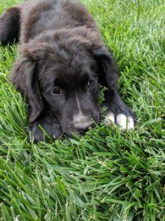 Saint Berdoodle PUPPY FOR SALE ADN-87572 - Beautiful saint Berdoodle puppies