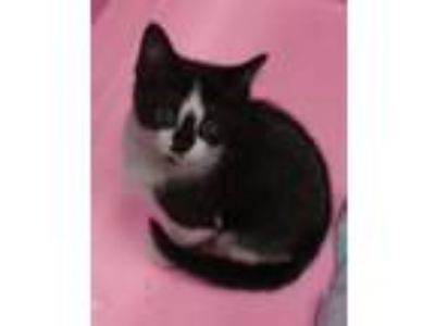 Adopt Jinxie a Domestic Short Hair