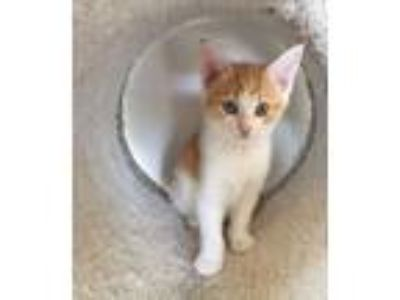 Adopt Buttercup a Orange or Red (Mostly) Domestic Shorthair / Mixed cat in
