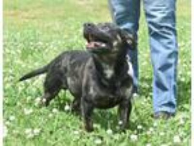 Adopt Asher a Brindle Pit Bull Terrier / Corgi / Mixed dog in Roswell
