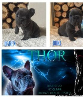 Powerful French Bulldog puppies for sale