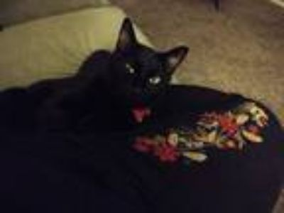Adopt NERO a All Black American Shorthair cat in St Clair Shores, MI (25281078)
