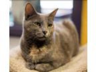 Adopt Sugar Plum a Domestic Shorthair / Mixed cat in Charlottesville