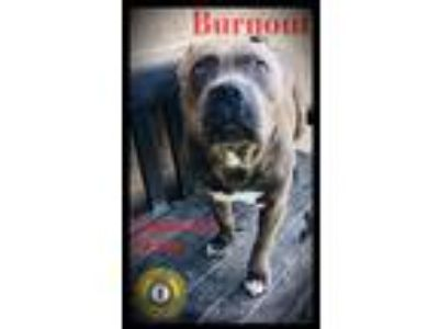 Adopt Burnout a Pit Bull Terrier