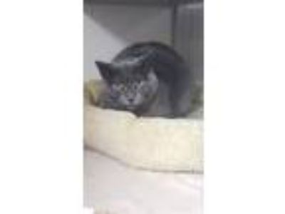 Adopt Rafters a Gray or Blue Domestic Shorthair / Mixed (short coat) cat in