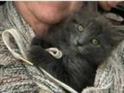 Adopt BlueBelle a Gray or Blue Domestic Mediumhair / Domestic Shorthair / Mixed