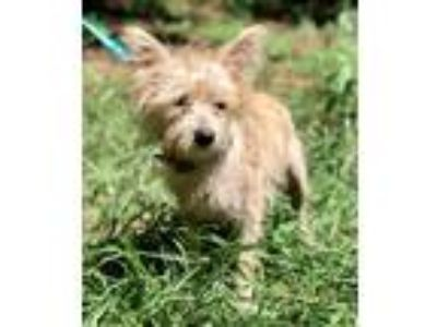 Adopt CANNON a Terrier