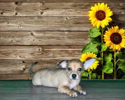 Rocco is a purebred Chihuahua!!