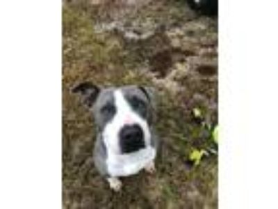 Adopt Jovi a Gray/Silver/Salt & Pepper - with White Pit Bull Terrier dog in